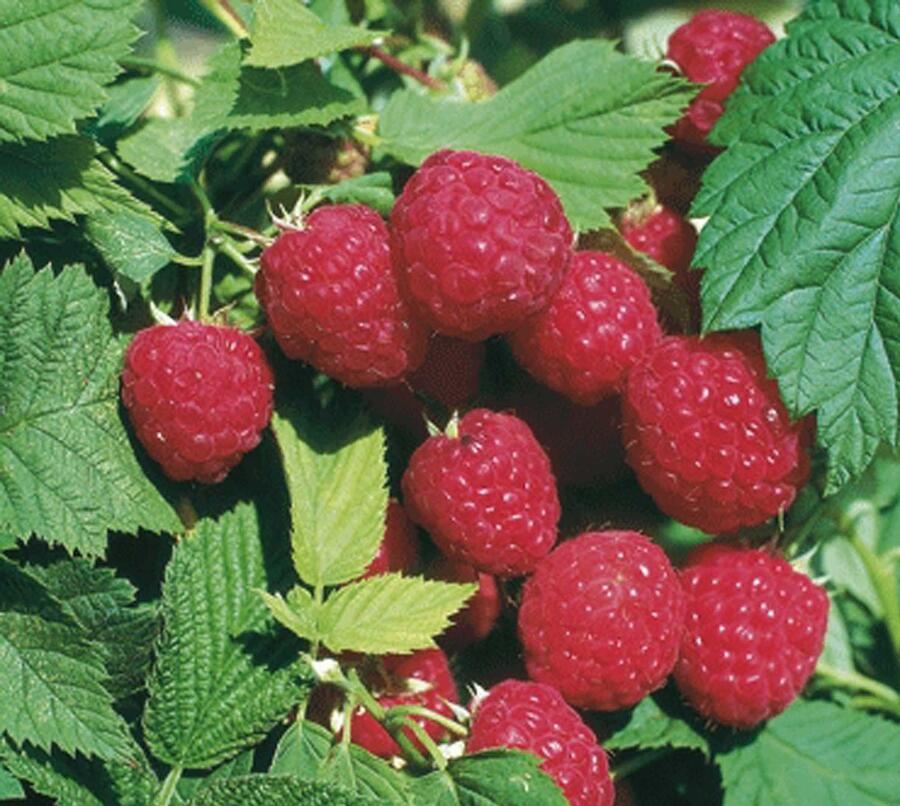 Maliník beztrnný, remontantní 'Glen Ample' - Rubus idaeus 'Glen Ample'