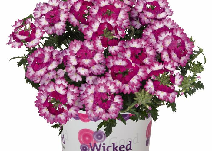 Verbena, sporýš 'Wicked Dark Pink' - Verbena hybrida 'Wicked Dark Pink'