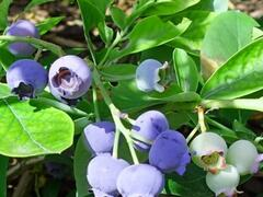 Borůvka chocholičnatá, kanadská borůvka 'Ama Rood' - Vaccinium corymbosum 'Ama Rood'