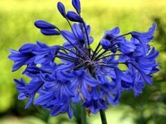 Kalokvět 'Starbus Blue' - Agapanthus africanus 'Starbus Blue'