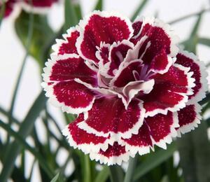 Hvozdík karafiát 'DiaDeur® Sophie' - Dianthus caryophyllus 'DiaDeur® Sophie'