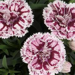 Hvozdík karafiát 'DiaDeur® Sissy' - Dianthus caryophyllus 'DiaDeur® Sissy'