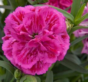 Hvozdík karafiát 'DiaDeur® Marie' - Dianthus caryophyllus 'DiaDeur® Marie'