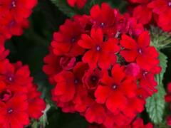Verbena, sporýš 'Summer Dreams Dark Red' - Verbena hybrida 'Summer Dreams Dark Red'