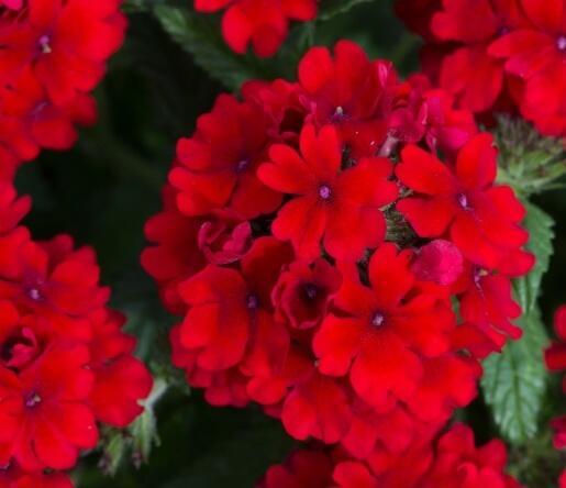 Verbena, sporýš 'Summer Dreams Dark Red' - Verbena hybrida 'Summer Dreams Dark Red'