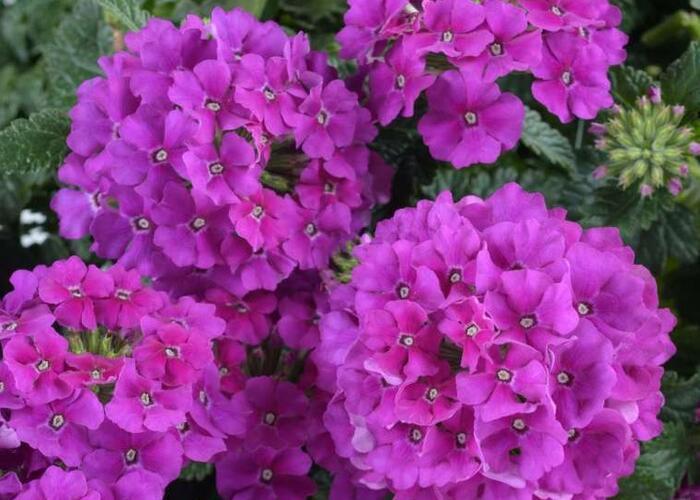Verbena, sporýš 'Vanessa Violet' - Verbena hybrida 'Vanessa Violet'