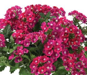 Verbena, sporýš 'Vanessa Dark Pink' - Verbena hybrida 'Vanessa Dark Pink'