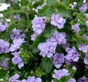 Bakopa 'Scopia Double Lavender' - Sutera diffusus 'Scopia Double Lavender'