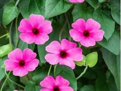 Smatavka, thunbergie křídlatá 'Susy Rose Sensation' - Thunbergia alata 'Susy Rose Sensation'