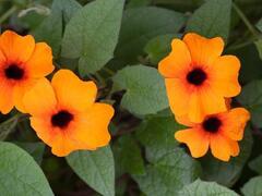 Smatavka, thunbergie křídlatá 'Susy Red-Orange' - Thunbergia alata 'Susy Red-Orange'