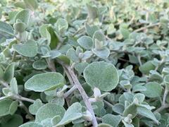 Smil 'Moes Silver' - Helichrysum petiolare 'Moes Silver'