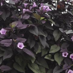 Povíjnice batátová 'Sunpuma Purple' - Ipomoea batatas 'Sunpuma Purple'