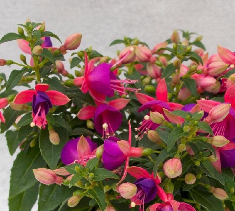 Čílko, fuchsie 'Jollies Nancy' - Fuchsia hybrida 'Jollies Nancy'