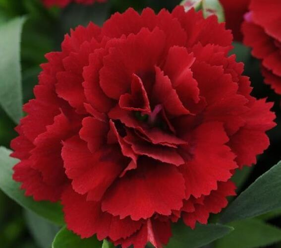 Hvozdík karafiát 'Oscar® Dark Red' - Dianthus caryophyllus 'Oscar® Dark Red'