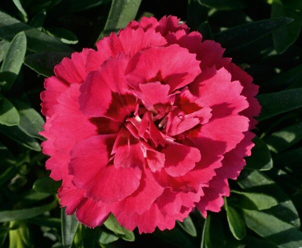 Hvozdík karafiát 'Oscar® Purple' - Dianthus caryophyllus 'Oscar® Purple'