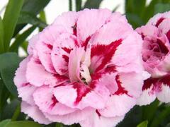 Hvozdík karafiát 'Oscar® Purple Star' 19 - Dianthus caryophyllus 'Oscar® Purple Star' 19