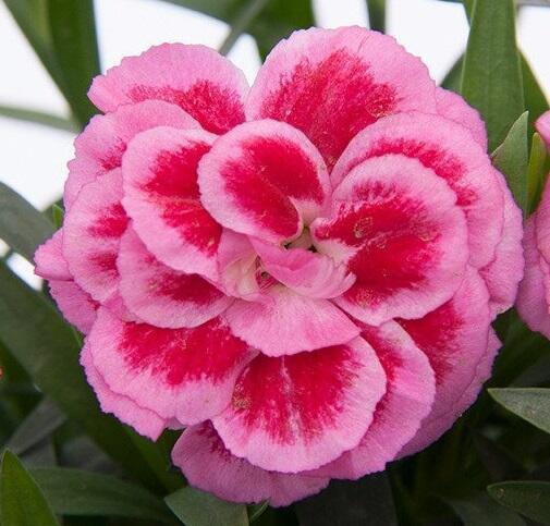 Hvozdík karafiát 'Oscar® Violet and Pink' - Dianthus caryophyllus 'Oscar® Violet and Pink'