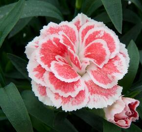 Hvozdík karafiát 'Oscar® White and Red' - Dianthus caryophyllus 'Oscar® White and Red'