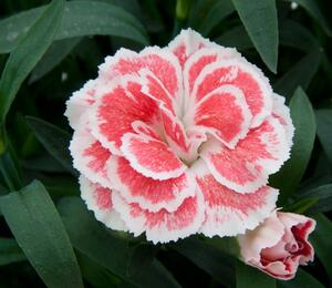 Hvozdík karafiát 'Oscar® White and Red' - Dianthus caryophyllus 'Oscar® White and Red'