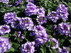 Verbena, sporýš 'Vanessa Bicolor Indigo' - Verbena hybrida 'Vanessa Bicolor Indigo'