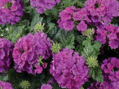 Verbena, sporýš 'Vanessa Compact Violet' - Verbena hybrida 'Vanessa Compact Violet'