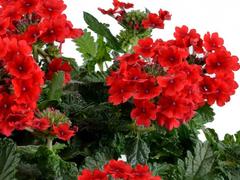 Verbena, sporýš 'Vanessa Compact Red' - Verbena hybrida 'Vanessa Compact Red'