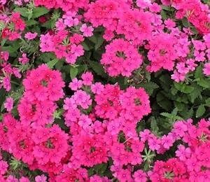 Verbena, sporýš 'Vanessa Compact Neon Pink' - Verbena hybrida 'Vanessa Compact Neon Pink'