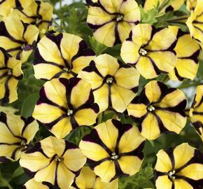 Petúnie 'Ray Sunflower' - Petunia hybrida 'Ray Sunflower'