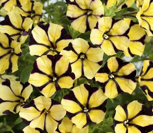 Petúnie 'Ray Sunflower' - Petunia hybrida 'Ray Sunflower'