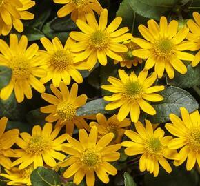 Vitálka poléhavá 'Talya Great Yellow' - Sanvitalia procumbens 'Talya Great Yellow'