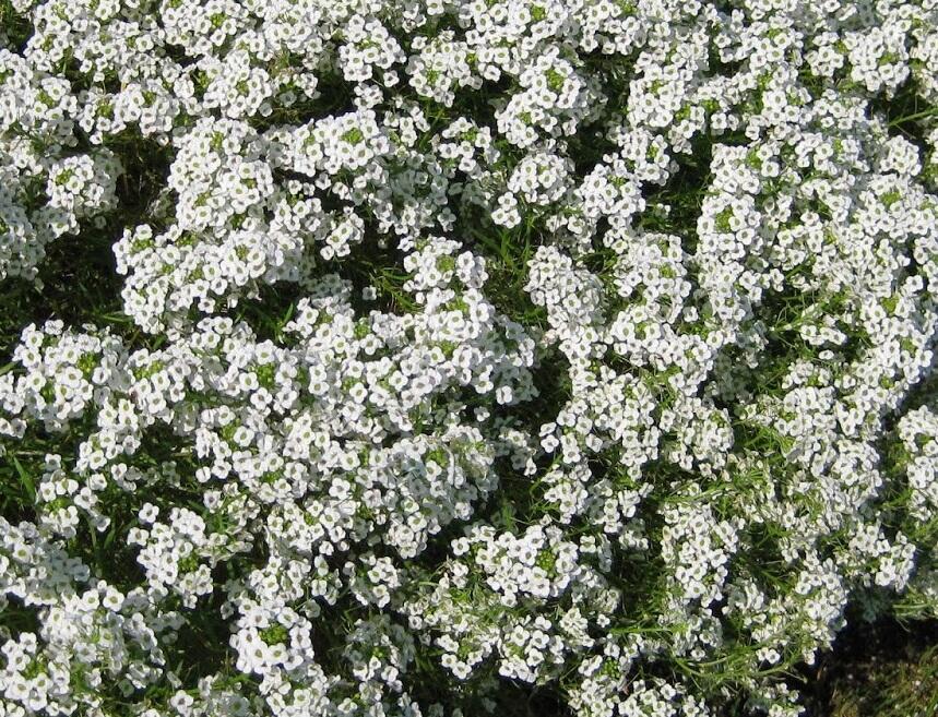 Tařicovka přímořská 'Stream White' - Lobularia maritima 'Stream White'