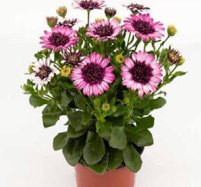 Dvoutvárka 'Cape Daisy Double Delight' - Osteospermum ecklonis 'Cape Daisy Double Delight'