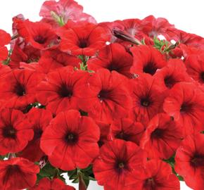 Petúnie 'Cascadias Chilli Red' - Petunia hybrida 'Cascadias Chilli Red'