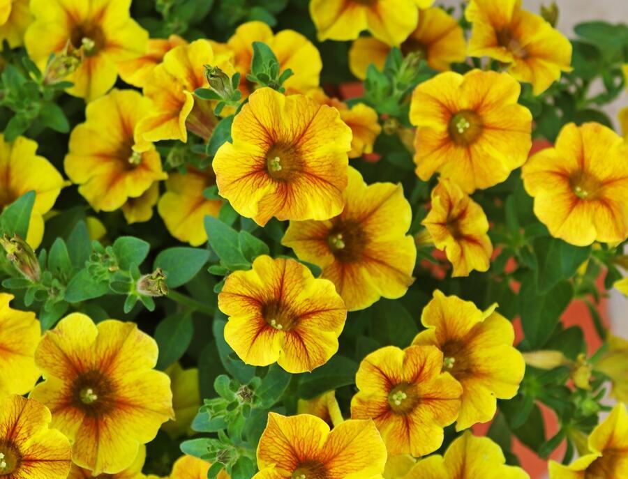 Petúnie 'Petichoa BeutiCal Caramel Yellow' - Petunia hybrida 'Petichoa BeutiCal Caramel Yellow'