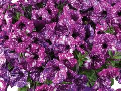 Petúnie 'Splash Dance Purple Polka' - Petunia hybrida 'Splash Dance Purple Polka'