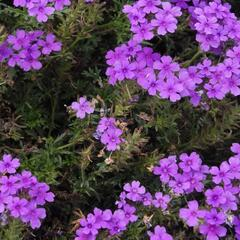 Verbena, sporýš 'Vanessa Purple' - Verbena hybrida 'Vanessa Purple'