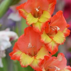 Mečík 'Princess Margaret Rose' - Gladiolus 'Princess Margaret Rose'