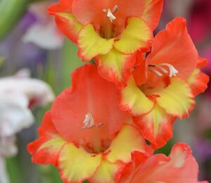 Mečík 'Princess Margaret Rose' - Gladiolus 'Princess Margaret Rose'