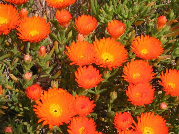 Lamparantus 'Orange' - Lampranthus roseus 'Orange'