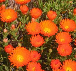 Lamparantus 'Orange' - Lampranthus roseus 'Orange'