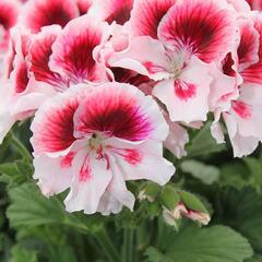Muškát, pelargonie velkokvětá 'Elegance Tony' - Pelargonium grandiflorum 'Elegance Tony'
