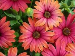 Dvoutvárka 'Cape Daisy Fire Burst' - Osteospermum ecklonis 'Cape Daisy Fire Burst'