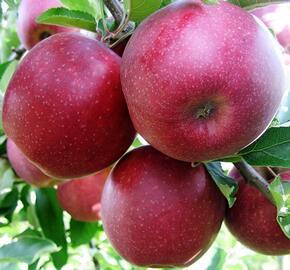 Jabloň zimní 'Red Jonaprince' - Malus domestica 'Red Jonaprince'