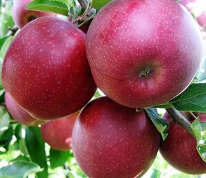 Jabloň zimní 'Jonagold Red Prince' - Malus domestica 'Jonagold Red Prince'