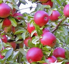 Jabloň zimní 'Red Bohemia' - Malus domestica 'Red Bohemia'