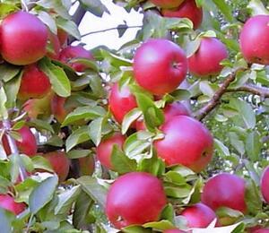 Jabloň - sloupovitá 'Red Bohemia' - Malus domestica 'Red Bohemia'