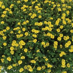 Mekardonie 'Garden Freckles' - Mecardonia x hybrida 'Garden Freckles'