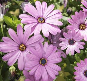 Dvoutvárka 'Margarita Lilac' - Osteospermum ecklonis 'Margarita Lilac'