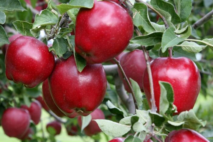 Jabloň zimní 'Red Delicious' - Malus domestica 'Red Delicious'