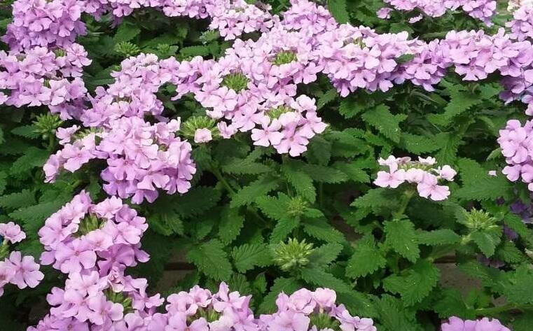 Verbena, sporýš 'Vanessa Compact Lavender' - Verbena hybrida 'Vanessa Compact Lavender'